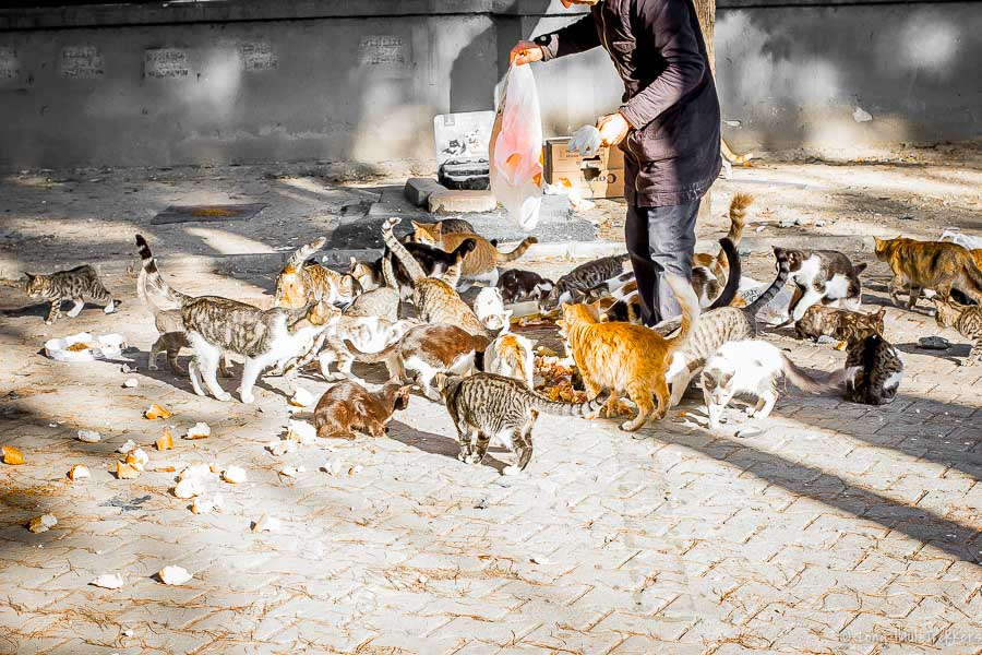 A Turkish man feeding his local cat colony in a public park.