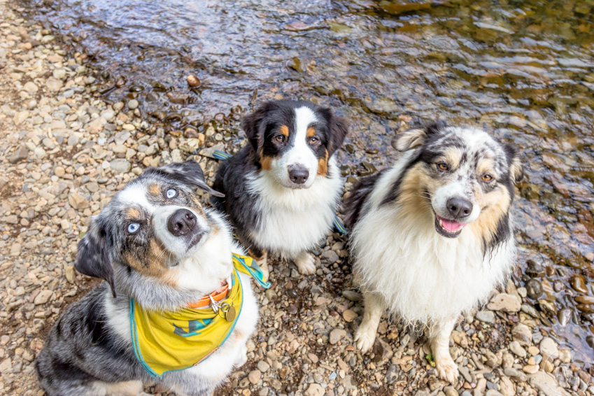 Three Australian Shepherd dogs looking calm and not nervous