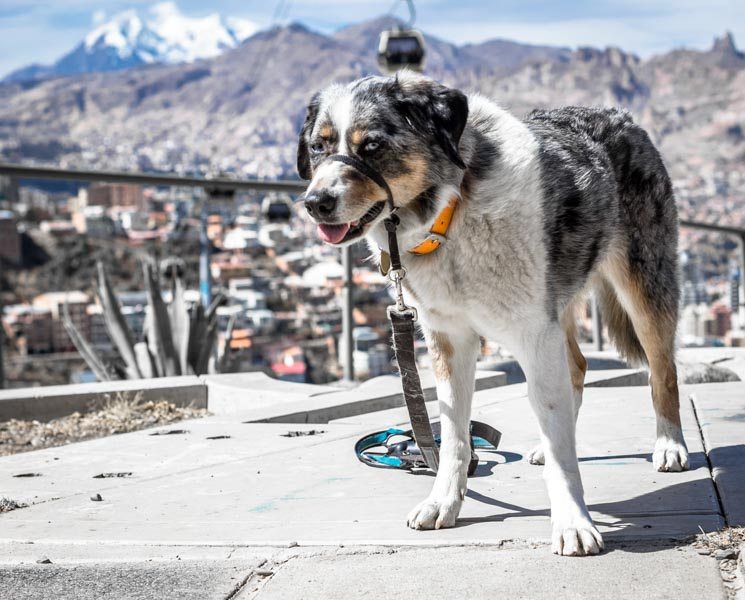 Sora takes a break during a walk in high altitude La Paz, Bolivia.