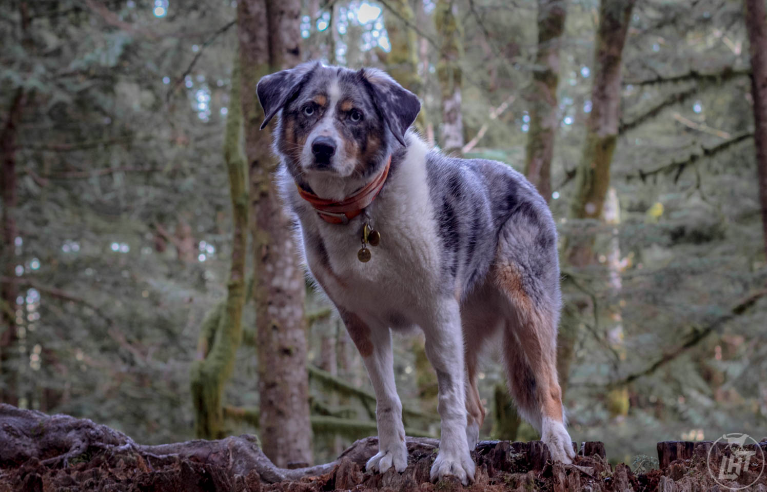 Why The Australian Shepherd Is The Best Adventure Dog Long