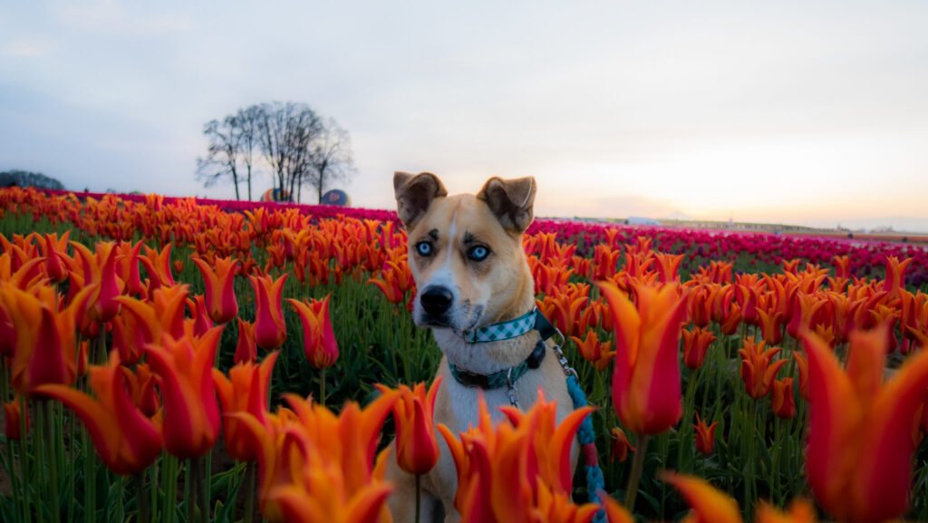 Take your dog to Wooden Shoe Tulip Fest for some seriously great photo ops!