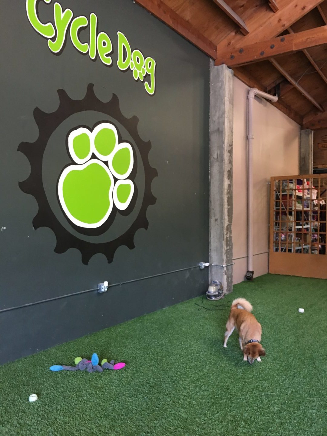Clem enjoys a visit to dog gear store Cycle Dog in Portland, OR.