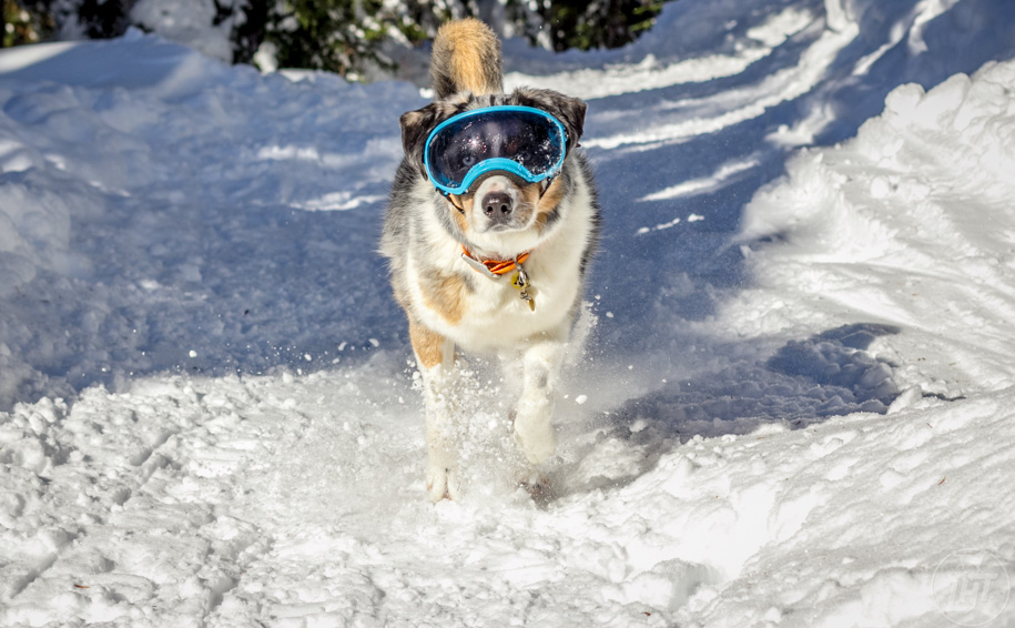 Dog goggles like RexSpecs help prevent diseases that can come from spending time in high altitude.