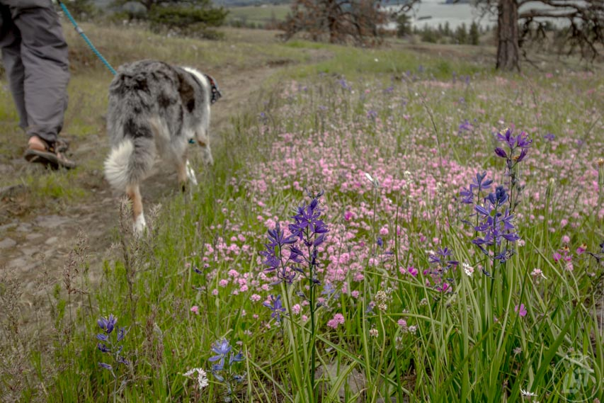 Catherine Creek blooms in a colorful array of wildflowers each spring, making a favorite dog-friendly hike in the Columbia River Gorge.
