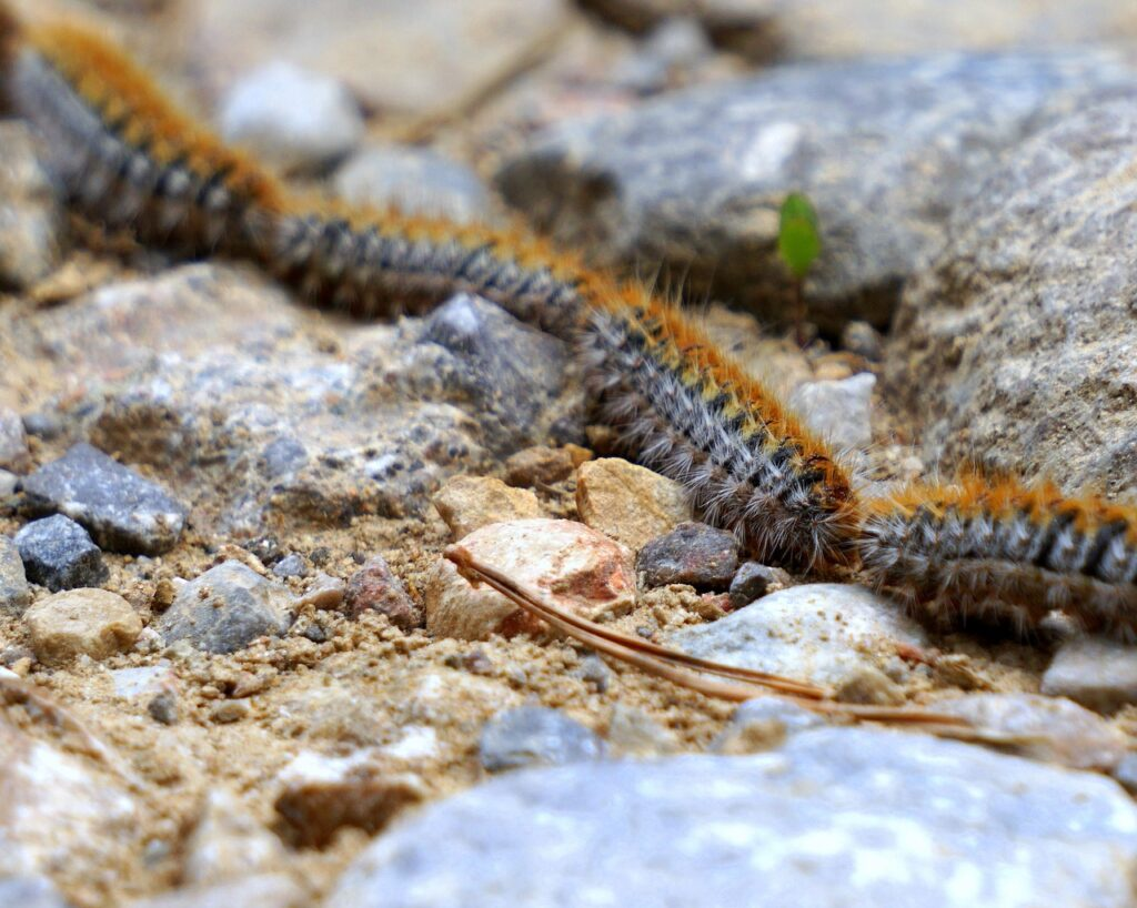 These caterpillars found in Europe are toxic to dogs.