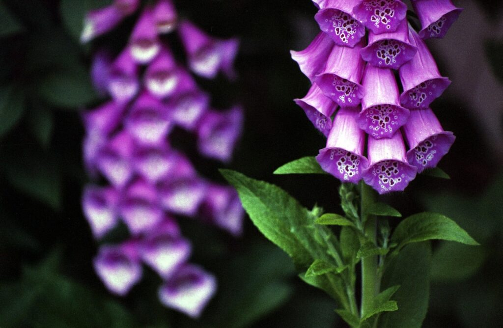 Foxglove is a common trail plant that is toxic to dogs.