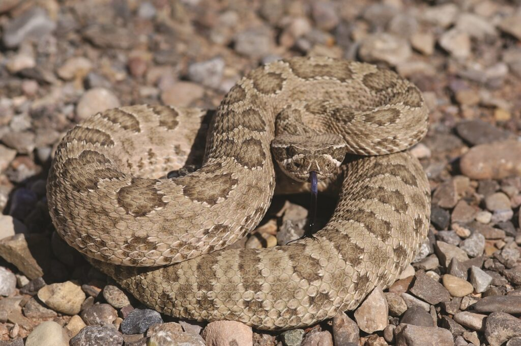 Teach your dog to avoid rattlesnakes, as their venom is toxic to dogs.