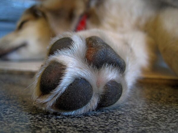 A dog paw wax like Musher's Secret can protect a dog's paws from harsh elements.