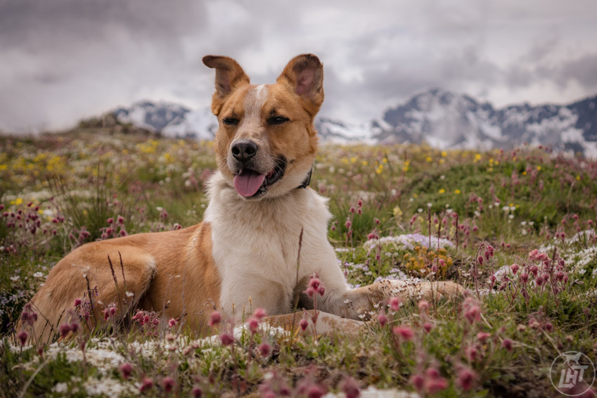Hiking around Marmot Pass, a dog friendly hike in the Olympic Peninsula.