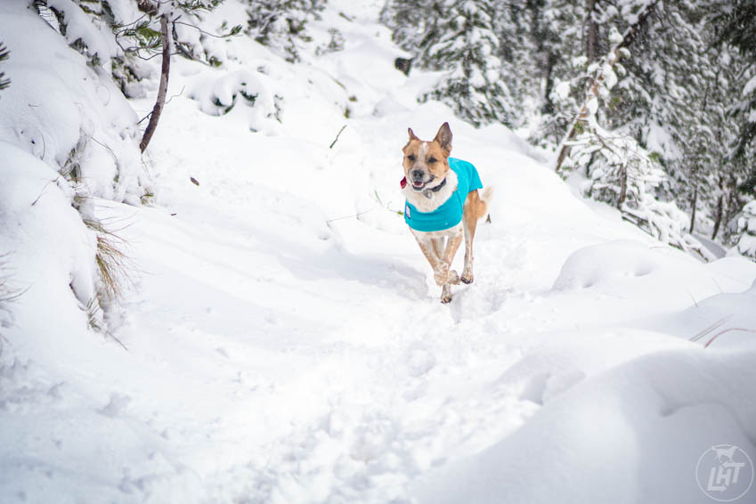 Sitka can move freely in the well-designed Tummy Warmer from Voyagers K9 Apparel