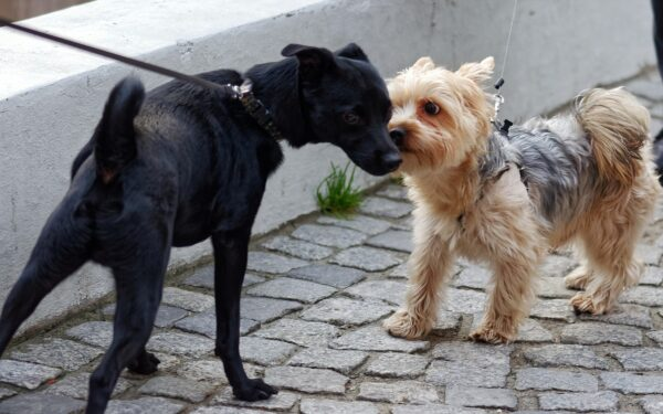 On-Leash Greetings between dogs are not a great idea.