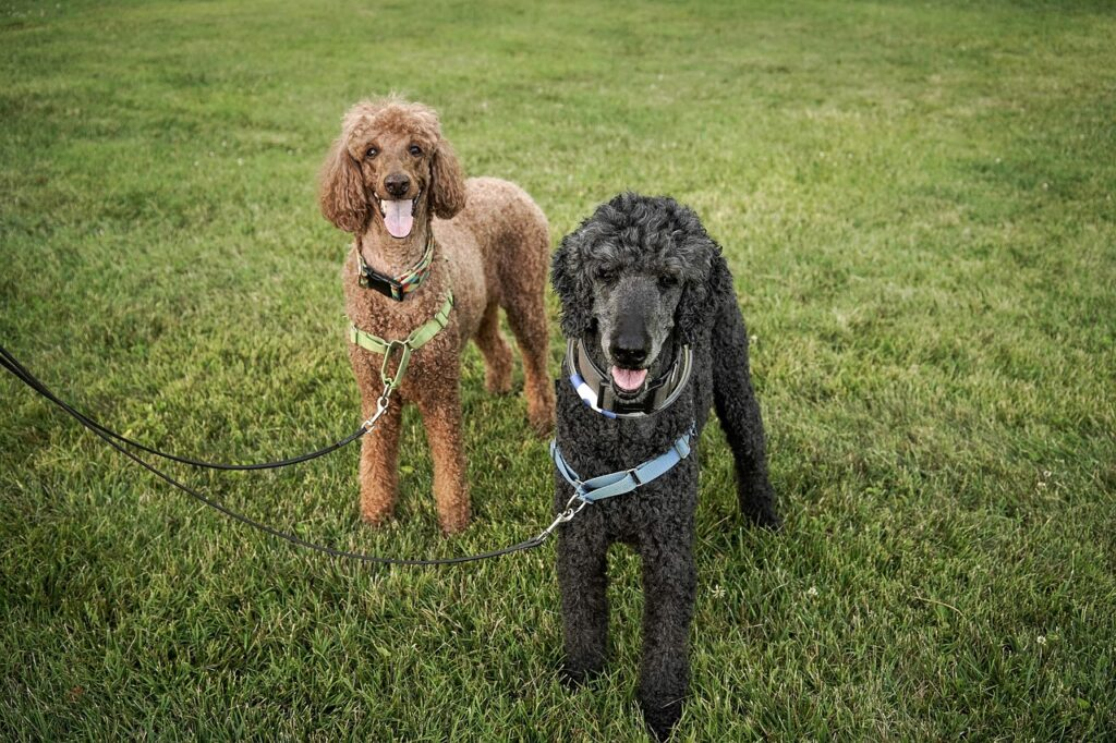 Standard poodles can make great long distances running dogs.
