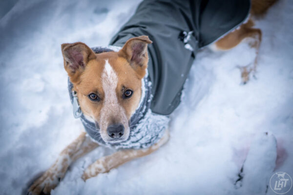 The Voyagers K9 Apparel Winter Coat is the best winter jacket for dogs.