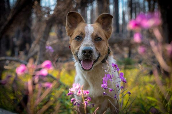 Sitka sitting behind some wildflowers