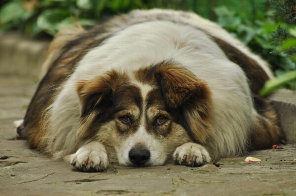 Image of an obese dog.